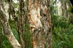 Thumbnail Baum mit abschälender Borke