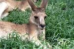 Thumbnail Känguruh liegend