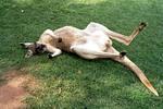 Thumbnail Känguruh auf Rücken liegend