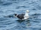 Thumbnail Seagull Royalty Free Image