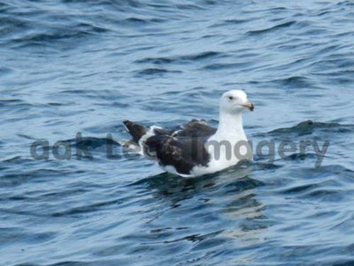 Pay for Seagull Royalty Free Image