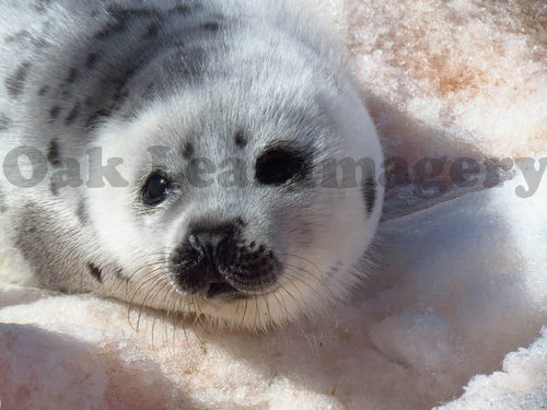 Pay for Baby Seal