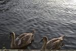 Thumbnail Swans