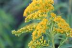 Thumbnail Yellow flower