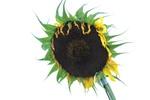 Thumbnail Sunflower