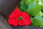 Thumbnail Red flower