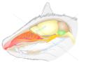 Thumbnail Biomedical vector illustration mouse head cross section