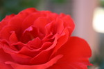 Thumbnail Red Rose
