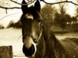 Thumbnail Sepia Horse