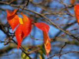 Thumbnail Cherry leaves