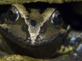 Thumbnail Frog face