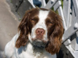 Thumbnail English Springer Spaniel Dog