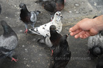 Thumbnail Hungry pigeons with predator eyes