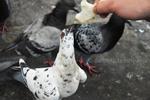 Thumbnail White pigeon