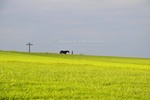 Thumbnail Woman with black horse along yellow field and gray sky
