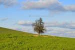 Thumbnail old tree in the middle of an oilseed rape field, blue sky