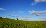Thumbnail green oilseed rape field with dark blue sky and white clouds