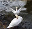 Thumbnail white mute swans with their wings wide open