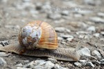 Thumbnail Helix pomatia, forest snail, foreground image