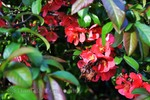 Thumbnail Chaenomeles japonica bright orange flowers, foreground image