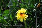 Thumbnail Taraxacum officinale (dandelion), medical herb, culinary use