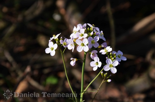 Pay for Cardamine californica flower, Milkmaids, spring flower