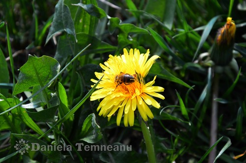 Pay for Taraxacum officinale (dandelion), medical herb, culinary use