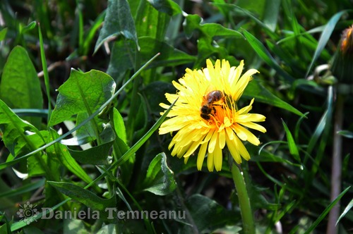 Pay for small bee enjoying a Taraxacum officinale (dandelion)