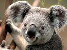 Thumbnail koala