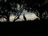 Thumbnail kangaroo