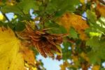 Thumbnail Maple Tree Acer in autumn