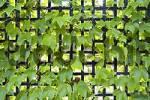 Thumbnail grape-vine in a garden