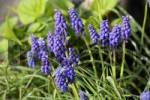 Thumbnail Grape Hyacinth , Muscari botryoides , Germany