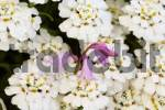 Thumbnail Evergreen Candytufts  Iberis sempervirens  and Spanish Bluebell  Hyacinthoides hispanica