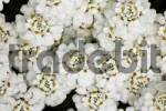 Thumbnail Evergreen Candytufts  Iberis sempervirens