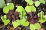 Thumbnail four leaf clover  Oxalis deppei  Germany