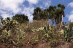 Thumbnail Indian Fig Opuntia Opuntia ficus-indica and Canary Islands Dragon Tree or Drago Dracaena draco, La Palma, Canary Islands, Spain, Europe