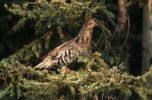 Thumbnail North American Spruce Grouse Falcipennis canadensis, female, Northwest Territory, Canada, North America