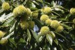 Thumbnail Ripe Sweet Chestnuts Castanea sativa, Styria, Austria, Europe