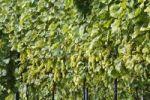Thumbnail White grapes, vineyard, Sausal, Styria, Austria, Europe