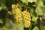 Thumbnail White grapes, Styria, Austria, Europe