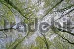 Thumbnail Beech forest Fagus silvatica in early spring