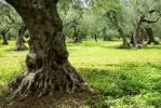 Thumbnail Old olive trees in a meadow, Abruzzo, Italy, Europe