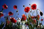 Thumbnail Poppy flowers Papaver against blue sky, Abruzzo, Italy, Europe