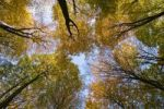 Thumbnail Upward view of an autumnal beech forest Fagus sylvatica, Germany, Europe