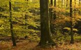 Thumbnail Autumnal beech forest Fagus sylvatica, Germany, Europe