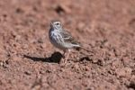 Thumbnail Berthelots Pipit Anthus berthelotii, portrait, La Palma, Canary Islands, Spain, Europe