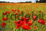 Thumbnail Meadow with common corn poppy, Papaver rhoeas near Munich, Bavaria