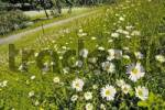 Thumbnail Meadow with daisies, Westpark Munich