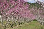 Thumbnail Almond trees Prunus dulcis in bloom, Provence, Southern France, Europe